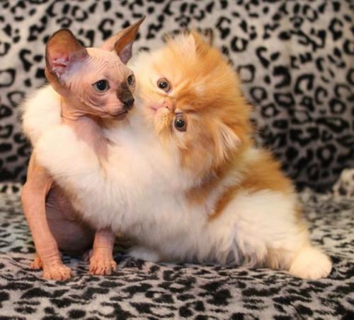 как познакомить кошек берем второго питомца